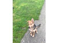 German Shepherd girl dog for sale
