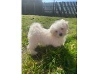 Bichon x Maltese pups for sale *2 REMAINING*