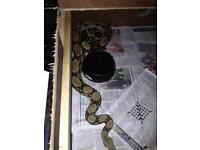 Two snakes for sale