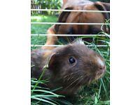 Female 2 year old guinea pig
