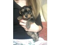 Beautiful Male Yorkshire Terrier puppy