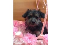 Toy poodle x Yorkshire terrier