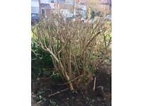 Large Forsythia Shrubs/ bushes - FREE