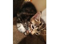 Kitten female 9 weeks tabby