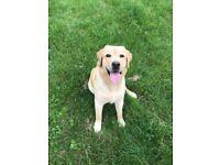 Beautiful Labrador bitch for sale