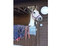 15hh gelding for loan