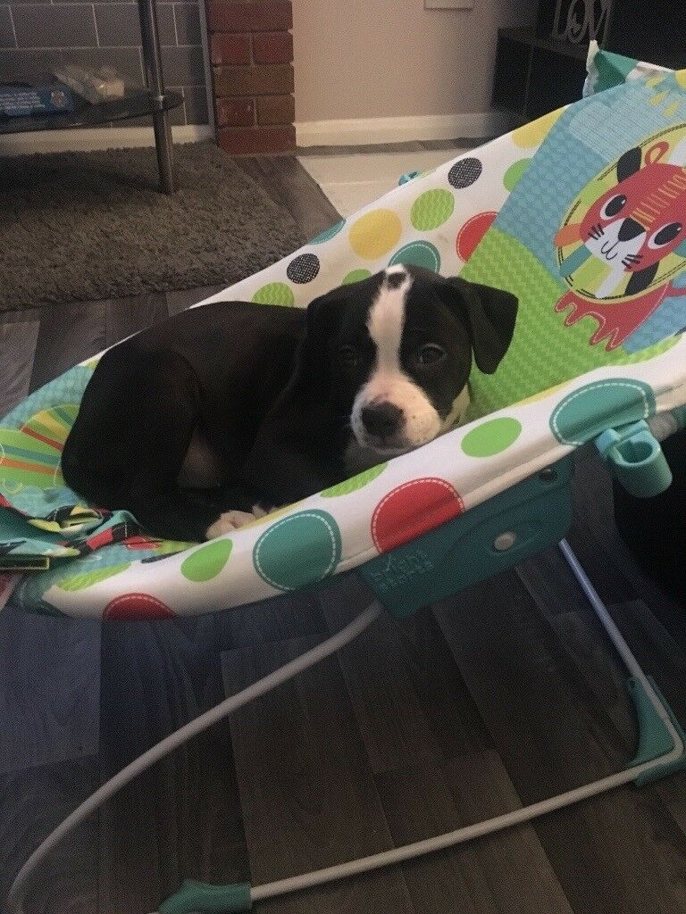 Black And White Staffieamerican Bulldog Puppy In Stafford