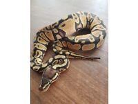 Royal python baby ( pastel )