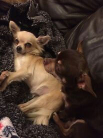 X2 chihuahuas for rehoming