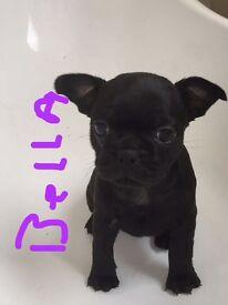 Beautiful French Bulldog cross pug for sale