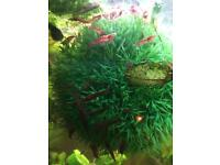 Tropical endler guppies and more