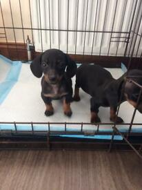 Beautiful litter of miniature dachshund puppies for sale