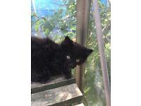 Lovely Kitten for Sale-Male