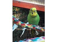 Budgies, single £15, pair £25