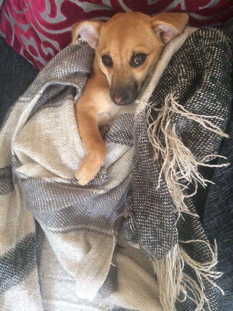 Chihuahua x Pomeranian