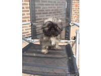 12 week old Shitzu puppy