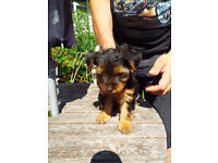 Yorkshire Terrier Puppies Full Pedigree