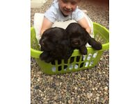 Cocker Spaniels for sale , ready for homes 2nd September £500 for more information please e-mail.