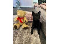 German Shepherd Puppy 10 WEEKS OLD