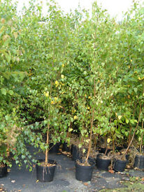 SILVER BIRCH TREES 10LT POTS 2.5-3M TALL, UNBEATABLE PRICE £3 TO CLEAR.PLANT NOW.VALUE,VALUE,VALUE!!
