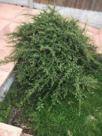 Pyracanthas (probably) bush/shrub