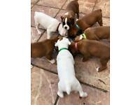 KC Reg Boxer Pups