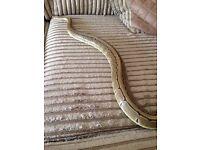 Female pinstripe ball python