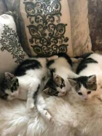 Fluffy long haired kittens