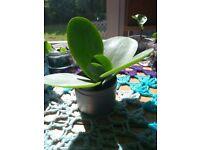 Baby Kalanchoe Thyrsiflora Succulent Plants