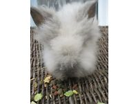 Baby Lionhead Baby Rabbit ready to go to a 5* home