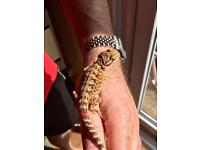 Bearded Dragons ( Sold )