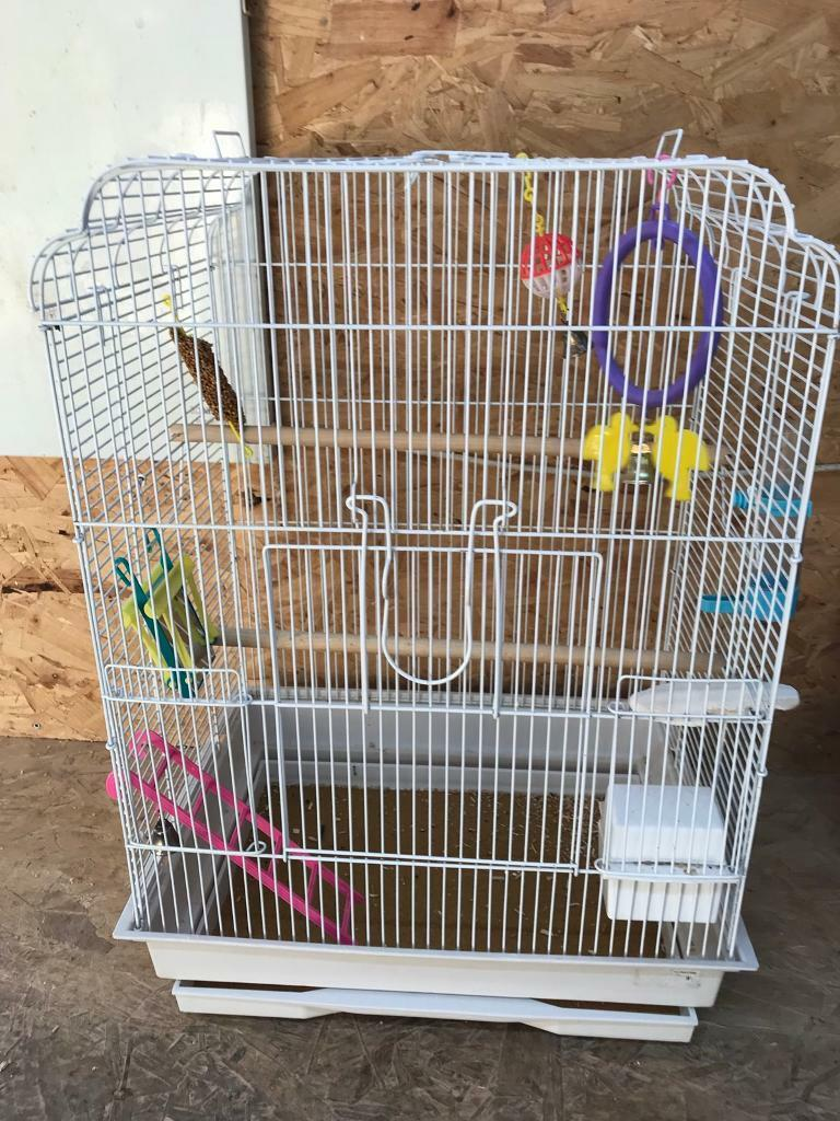 Baby budgies with cage