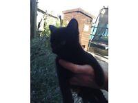 Last of the litter black male kitten ready now