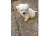 Maltese male puppy 3 months old Pedigree