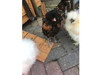 polish bantam cockerel 5 months old free to a good home