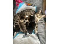 4 female and 1 male Persian x tabby breed.