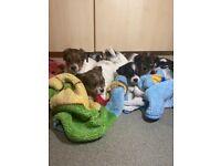 shitzu x yorkshire terrier puppies