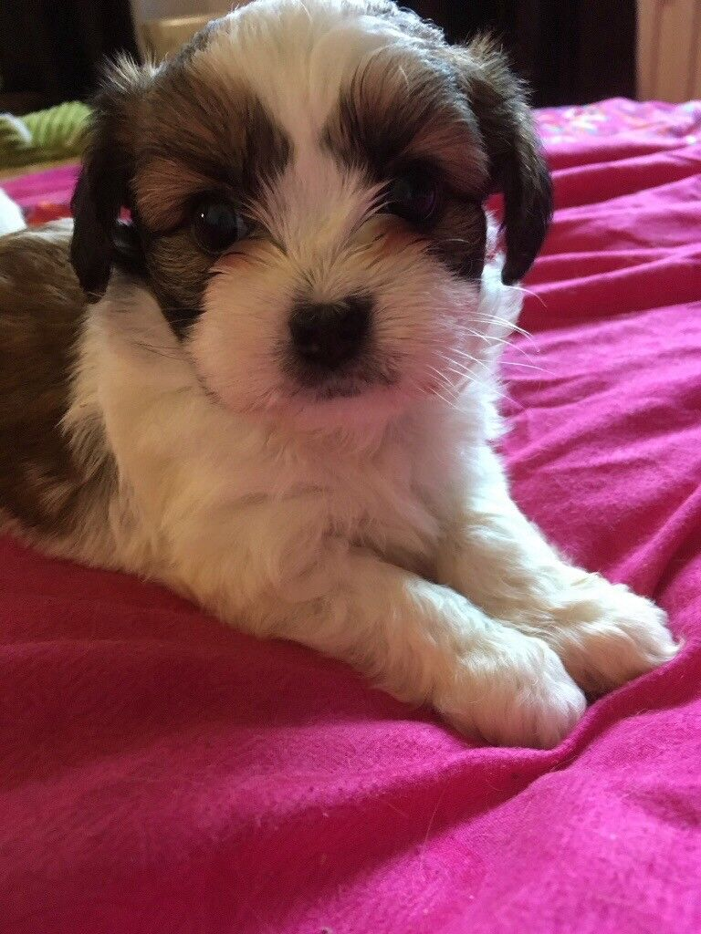 Papillon Cross Shih Tzu Puppy For Sale In Crewe Cheshire Gumtree