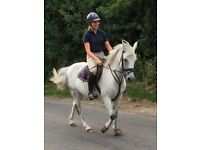13.2hh New Forest Mare