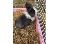 3 lion head rabbits- can be sold individually