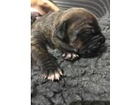 French bulldog crossed puppies