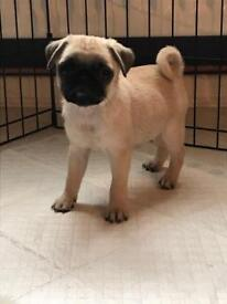 One Gorgeous pug puppy left to go to there forever home .