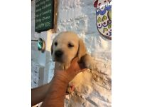 Gorgeous Labrador puppies for sale