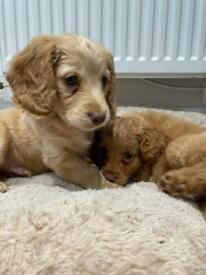 Cockapoo Puppies! 2 Remaining