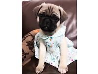 Two pug dog for sale
