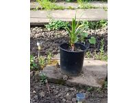 3 yucca plants