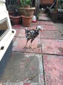 Shamo chicken