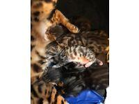 Lovely Bengal Kittens