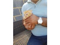 Beautiful ginger kitten for sale