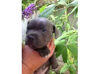 BLUE STAFF PUP FOR SALE!